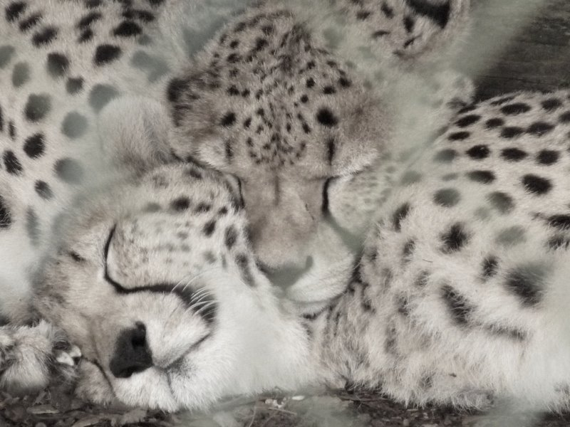 cheetahs resting at Fota, Cork