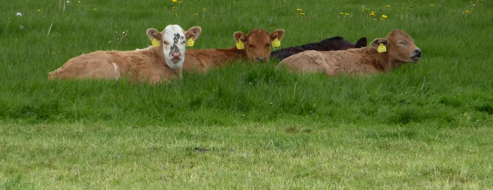 Chilled Cows