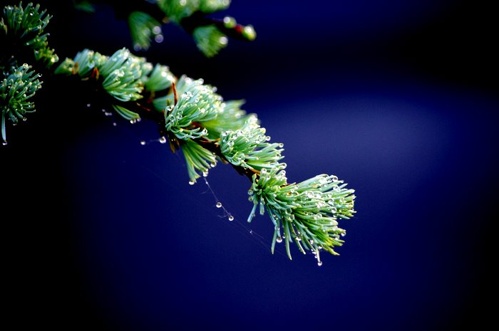 Morning dew drops on a tree