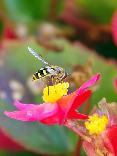 Busy Bee on a flower