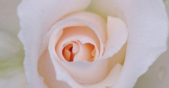 Into The white, Into The White (Rose Macro)