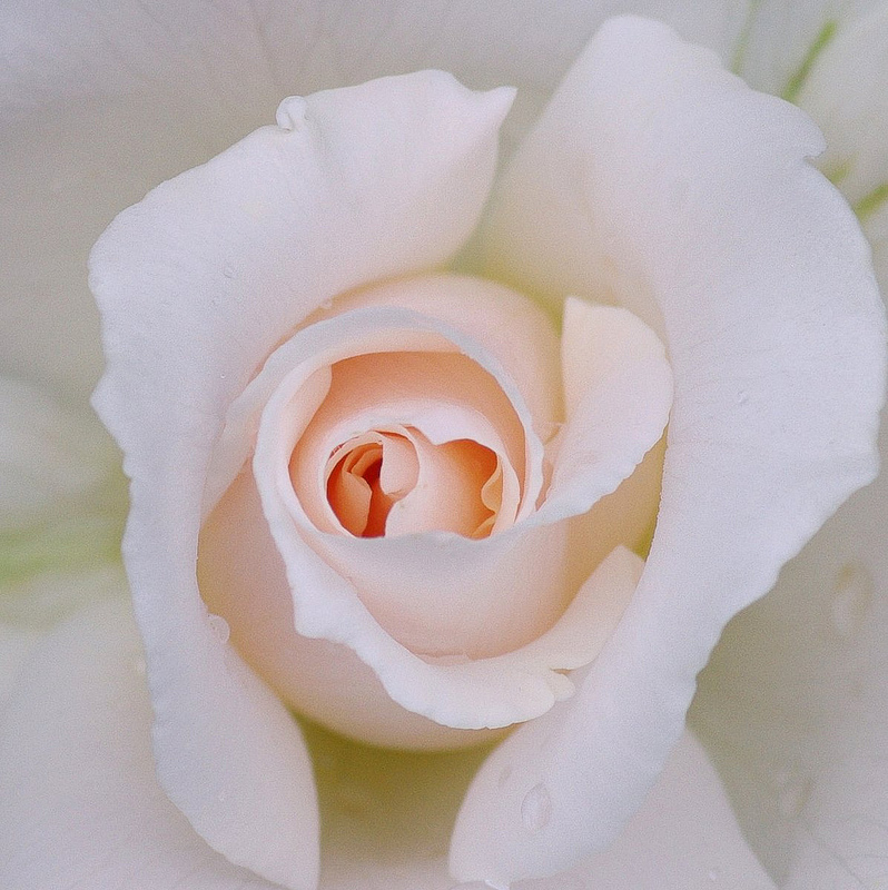 into the white Into The white, Into The White (Rose Macro)