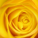 Yellow Rose Petals (Yellow roses,The color of sunshine)