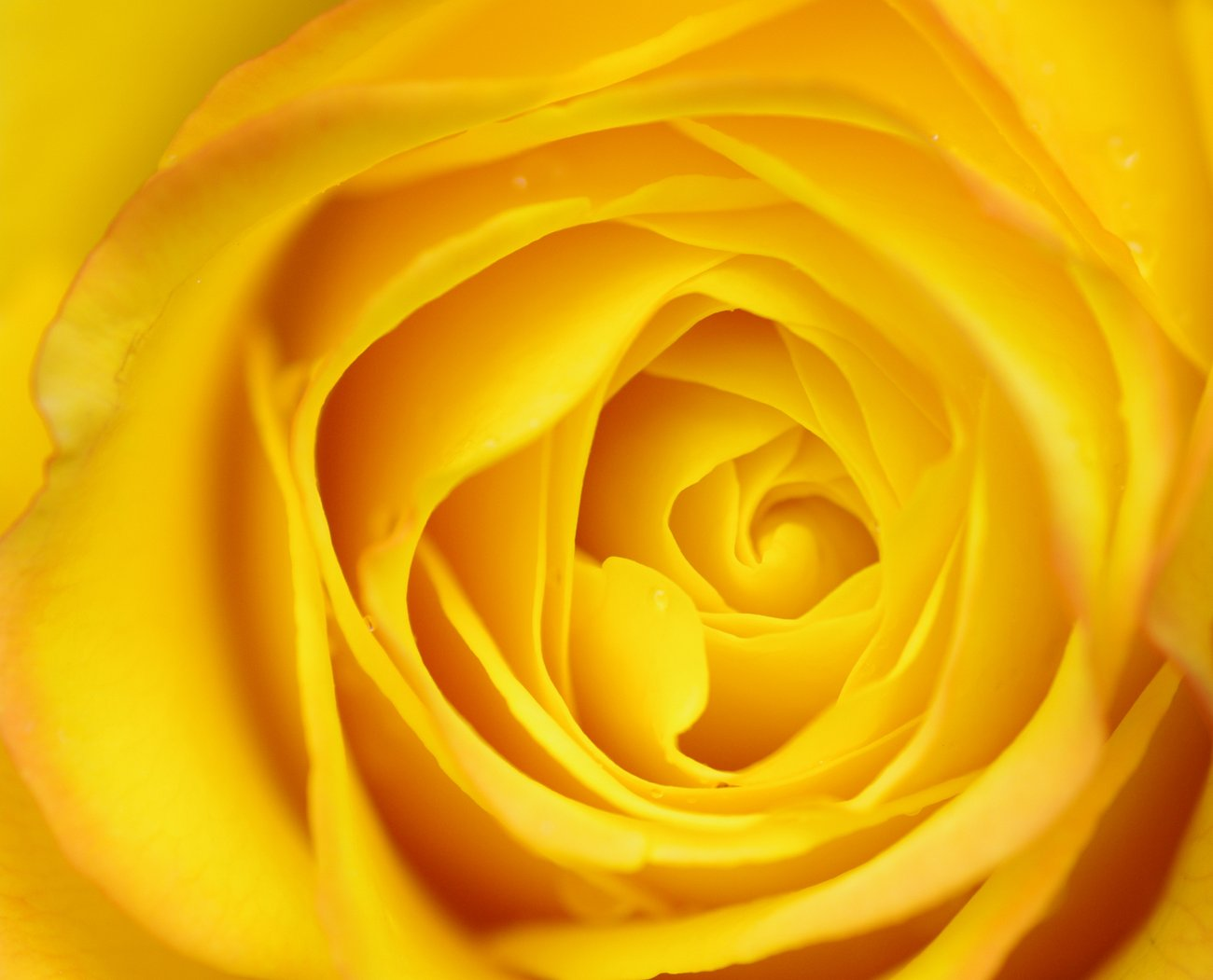 yellow roses the color of sunshine Macro Yellow Rose(Yellow roses,The color of sunshine)