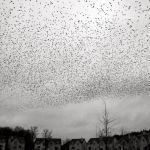 The Birds- Starling Birds Starlings murmuration in Galway